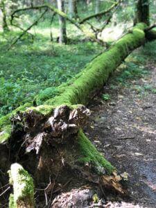 przewrócone drzewo